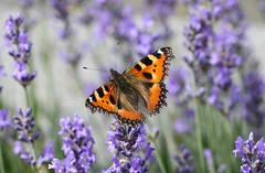 In my garden (LuckyMeyer) Tags: butterfly schmetterling fuchs kleiner insect makro lavender garden summer sun orange lila