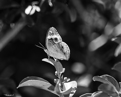 Sunlit Butterfly (that_damn_duck) Tags: blackwhite monochrome insect butterfly nature nikon leaves wings bw blackandwhite