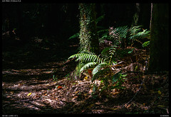 Bush tracks (Falcdragon) Tags: sonyfe1885mm sonya7riialpha ilce7rm2 nativebush newzealand waikato