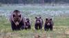 Brown bear family (CecilieSonstebyPhotography) Tags: grass bjørn myrull woods bears cubs bearfamily eriophorumscheuchzeri family markiii bear june bamse cottongrass forest canon5dmarkiii summer bokeh brownbear ef100400mmf4556lisiiusm canon swamp specanimal wild specanimalphotooftheday