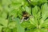 Bumblebee Hoverfly  (Volucella bombylans var. plumata), male (Hoppy1951) Tags: abergavenny monmouthshire wales uk gbr clytha allanhopkins bumblebeehoverfly volucellabombylansvarplumata male blackandyellowform whitetailedbumblebeemimic bombuslucorummimic mimicry