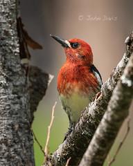 Red-breasted Sapsucker 20180515_3481 (GORGEous nature) Tags: oregon piciformes redbreastedsapsucker sphyrapicusruber spring vertebrates wascoco bird foraging mhnf may ©johndavis