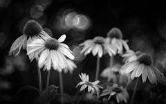 Coneflowers in my Garden - b&w version (Anne Worner) Tags: anneworner blackandwhite d7000 helios44m nikon silverefex bw bloom blossom bokeh coneflower cones echinacea f20 fauna flora flower floweringblossoming flowers garden manualfocus manualfocuslens nature outdoors outside petals pink plants selectivefocus shallowdof stamens