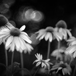Coneflowers in my Garden - b&w version thumbnail