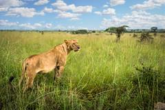 Linoess in wilderness (Eva Janku) Tags: lion lioness cat nairobi safari outdoor nature animal mighty kenya africa