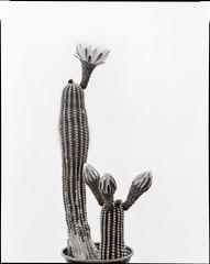 Echinopsis Blossoms (Wet Possum) Tags: 305mm 8x10 cactus commercialektar deardorff flower flowers kodakcommercialektar12epson scanfilmilfordilford ddxilford hp5large format scan v700