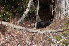 Young Black Bear sleeping in woods near Whistler (quinet) Tags: 2018 blackbear canada whistler britishcolumbia 124