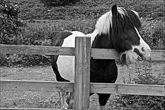 My friend Monochrome (brianarchie65) Tags: skidby beverley horse blackandwhite blackandwhitephotos blackandwhitephoto blackandwhitephotography blackwhite123 fence field grass unlimitedphotos ngc flickrunofficial flickruk flickr flickrcentral flickrinternational ukflickr geotagged canoneos600d brianarchie65