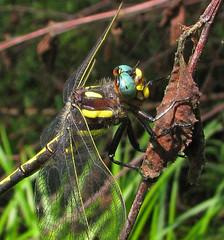 Mr. Blue Eyes (Vicki's Nature) Tags: arrowheadspiketail male blueeyes big large dragonfly deadtree closeup macro supermacro vickisnature biello georgia canon s5 4295 returnnc