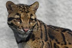 Clouded Leopard - Olmense Zoo (Mandenno photography) Tags: animal animals clouded leopard olmense olmensezoo olmen belgie belgium cat small dierenpark dierentuin dieren zoo