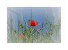 Coquelicot-calice... (Laurent TIERNY) Tags: campagne