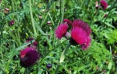Cirsium...Rivulare (standhisround) Tags: flowers flower nature cirsium rivulare plants plant magenta thistle rbg royalbotanicalgardens kewgardens kew london uk