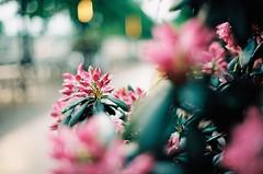 000040 (23/25) Tags: filmphotography film analogue minoltax700 kodakcolor200 필름사진 필름 плёнка 35ммплёнка 35mmfilm flowers flowersonfilm