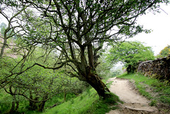Tree in North York Moors (Wilamoyo) Tags: holeofhorcum northyorksmoors tree ecology environment beauty nature green grass bark path walking park garden branches twigs diagonal wall drystone