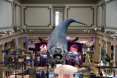 Whale - National Museum of Natural History (dckellyphoto) Tags: smithsonian nationalmuseumofnaturalhistory washingtondc districtofcolumbia naturalhistorymuseum 2018 science washington whale model baleen