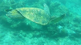 Maui - Snorkeling with turtles