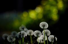 maruyama 494 (kaifudo) Tags: sapporo hokkaido japan maruyamapark flower dandelion ダンデライオン 蒲公英 タンポポ 札幌 北海道 円山 円山公園 nikon d810 nikkor afs 70200mmf28gedvrii 70200mm