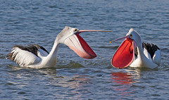 I will always love you (christinaportphotography) Tags: australianpelican pelecanusconspicillatus pelican centralcoast nsw australia bird birds wild free focus pink courting bills