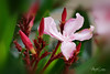 Oleander nerum (marko.erman) Tags: beautiful sony ilce7rm2 petal flower plant nature floral bokeh macro fleur plante brillant drops water papillon jardin pelouse nerium oleander red poisonous