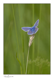 Blue against green - Common Blue butterfly (m)