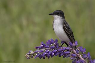 Eastern Kingbird | Tyran tritri