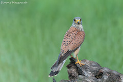 Gheppio (Simone Mazzoccoli) Tags: nature wild wildlife bird birdwatching kestrel birdofprey raptor hunter outdoor