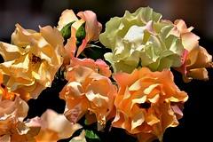 Rosas 2 (ameliapardo) Tags: rosas flores floresyplantas macrodeflores macrodefloresyplantas naturaleza jardines airelibre fujixt1 leicamacror50 sevilla analucia españa
