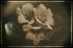 Freesia (Bill Eiffert) Tags: flower bloom vintage texture wetplate border sepia