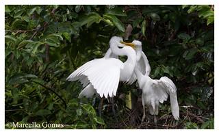 Great White Egret ( Ardea alba) GREG - French Kissing??? (best seen larger)