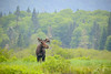 Le gars du coin (jlf_photo) Tags: orignal moose parc national jacquescartier quebec canada wildlife faune sauvage wild