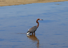 AudubonSanibelDingDarlingPreserve2 (Bruce Hunt Images) Tags: reddish heron dingdarlingnationalwildliferefuge sanibel florida