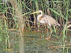 Joven de Garza imperial (Ardea purpurea) (11) (eb3alfmiguel) Tags: aves zancudas acuaticas ciconiiformes ardeidae joven de garza imperial ardea purpurea