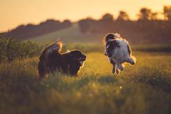 Matrix Style (der_peste (on/off)) Tags: australianshepherd dogs dog aussie aussies bokeh dof depthoffield shallowdepthoffield backlight sonya7iii sel70200gm