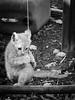 4081 - Giulio (Diego Rosato) Tags: giulio gatto cat gattino kitten animal pet palying game gioco bianconero blackwhite fuji x30 rawtherapee