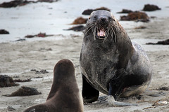The Unhappy Sea Lion (lexrosem) Tags: seal yawn animals australia beach seaweed sand
