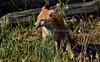 EdenLanding_060318_246 (kwongphotography) Tags: edenlandingecologicalreserve edenlanding wildlife wildlifephotography nature naturephotography eastbayregionalparks hayward california ca calif redfox fox unitedstates