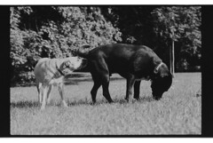 P63-2018-015 (lianefinch) Tags: argentique argentic analogique analog monochrome blackandwhite blackwhite bw noirblanc noiretblanc nb chien dog dogs chiens griffon labrador animal nature parc