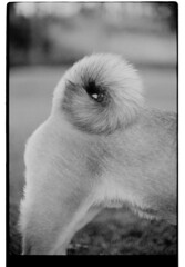 P63-2018-007 (lianefinch) Tags: argentique argentic analogique analog monochrome blackandwhite blackwhite bw noirblanc noiretblanc nb chien dog dogs chiens shiba inu fox renard animal nature queue tail