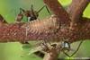 photo-079940.jpg (GeeC) Tags: animalia ants antsbeeswasps arthropoda cambodia formicidae hemiptera hymenoptera insecta kohkongprovince membracidae membracoidea nature tatai treehoppers vespoidea