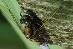 DSC00107 - Male Black tailed Skimmer (steve R J) Tags: black tailed skimmer blue house farm ewt reserve north fambridge essex odonata british dragonfly