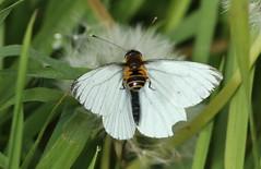 Twofer! (Steviethewaspwhisperer) Tags: twofer hover butterfly white dandelion clock