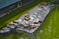 Turtles sunbathing in a pond at Haw Par Villa in Singapore (UweBKK (α 77 on )) Tags: turtles sunbathing pond lake water green haw par villa singapore southeast asia sony alpha 77 slt dslr