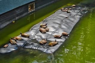 Turtles sunbathing in a pond at Haw Par Villa in Singapore