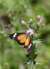 Butterfly and bee in  competition! (Uhlenhorst) Tags: 2013 australia australien plants pflanzen flowers blumen blossoms blüten animals tiere travel reisen coth
