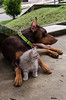 _MAG9578 (Manolo Agudelo) Tags: cat dog dobermann british longhair friendship