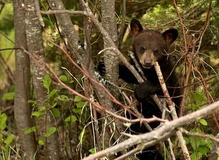 Black bear cub in the sticks...