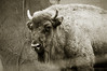 Bisonte (Lograi) Tags: barcelona cataluña catalunya catalonia españa espanya spain geoetiquetada geotagged zoo zoológico bisonte bison bw blancoynegro byn blackandwhite blackwhite bn sepia