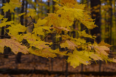 Fall colours (MariaMargy) Tags: tree leaves fall autumn park orange colour ontario canada alliston season nikon d3300 nature outdoors outside leaf forest branches branch november weather