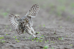 Attackmodus (fire111) Tags: little owl bif flight athene noctua steenuil birding wild wildlife photographing