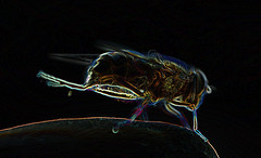finger fly sliding (conall..) Tags: finger fly eristalis glowing edges pertinax eristalispertinax